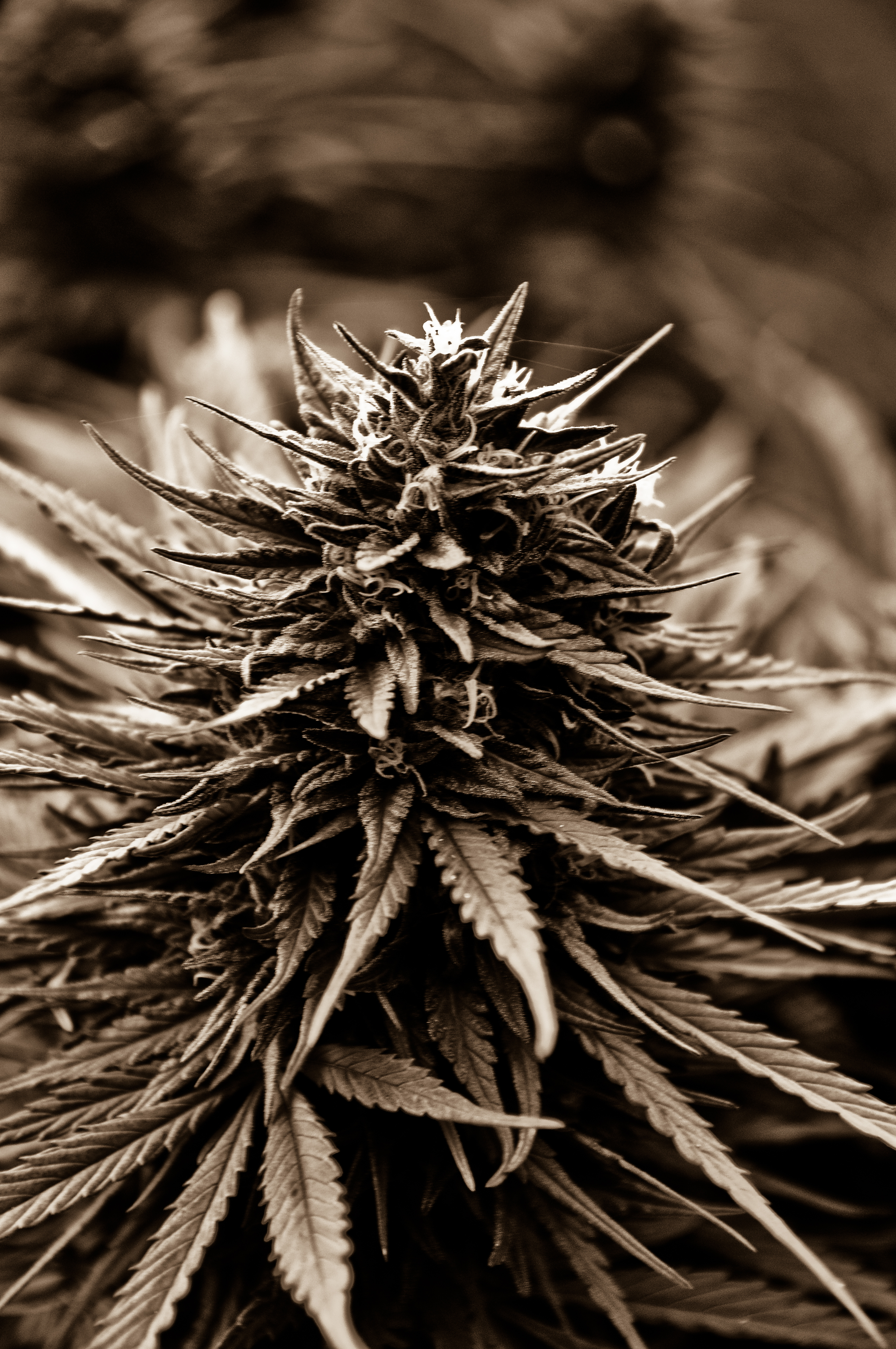 weed plant black and white wwwpixsharkcom images
